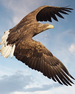 Top tips: a white-tailed sea eagle in flight.