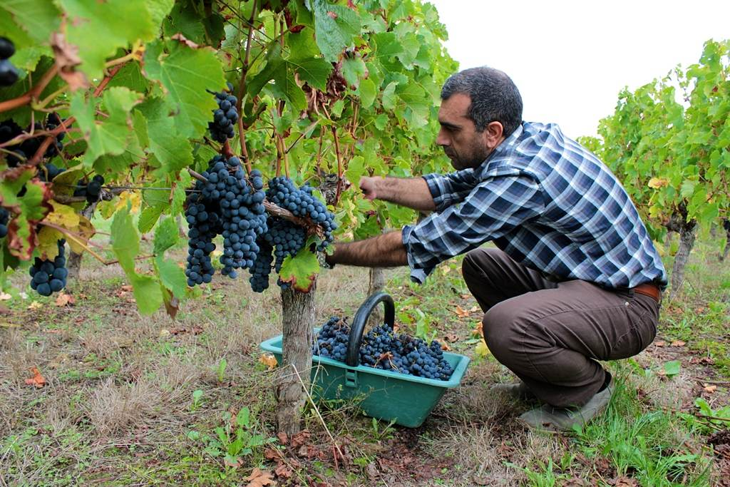 Harevesting grapes by hand in a Bordeaux vineyard. Image © Rachele Rossi / Moment / Getty