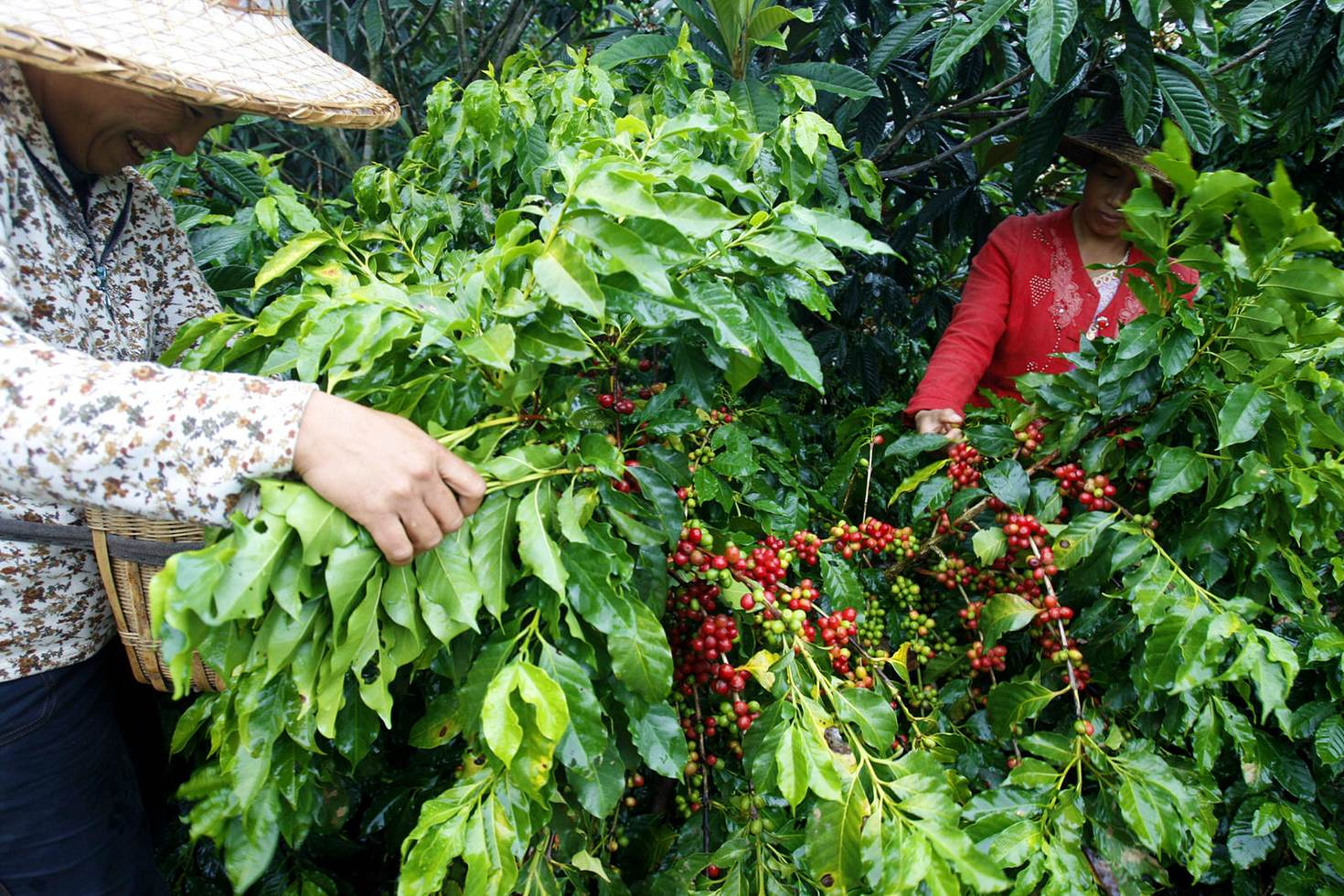 The coffee bean harvest in full swing in Yunnan, China © China Photos / Getty Images