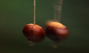 A conker contest.