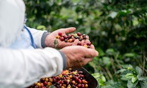 Farmer collecting coffee beans at a farm, Colombia