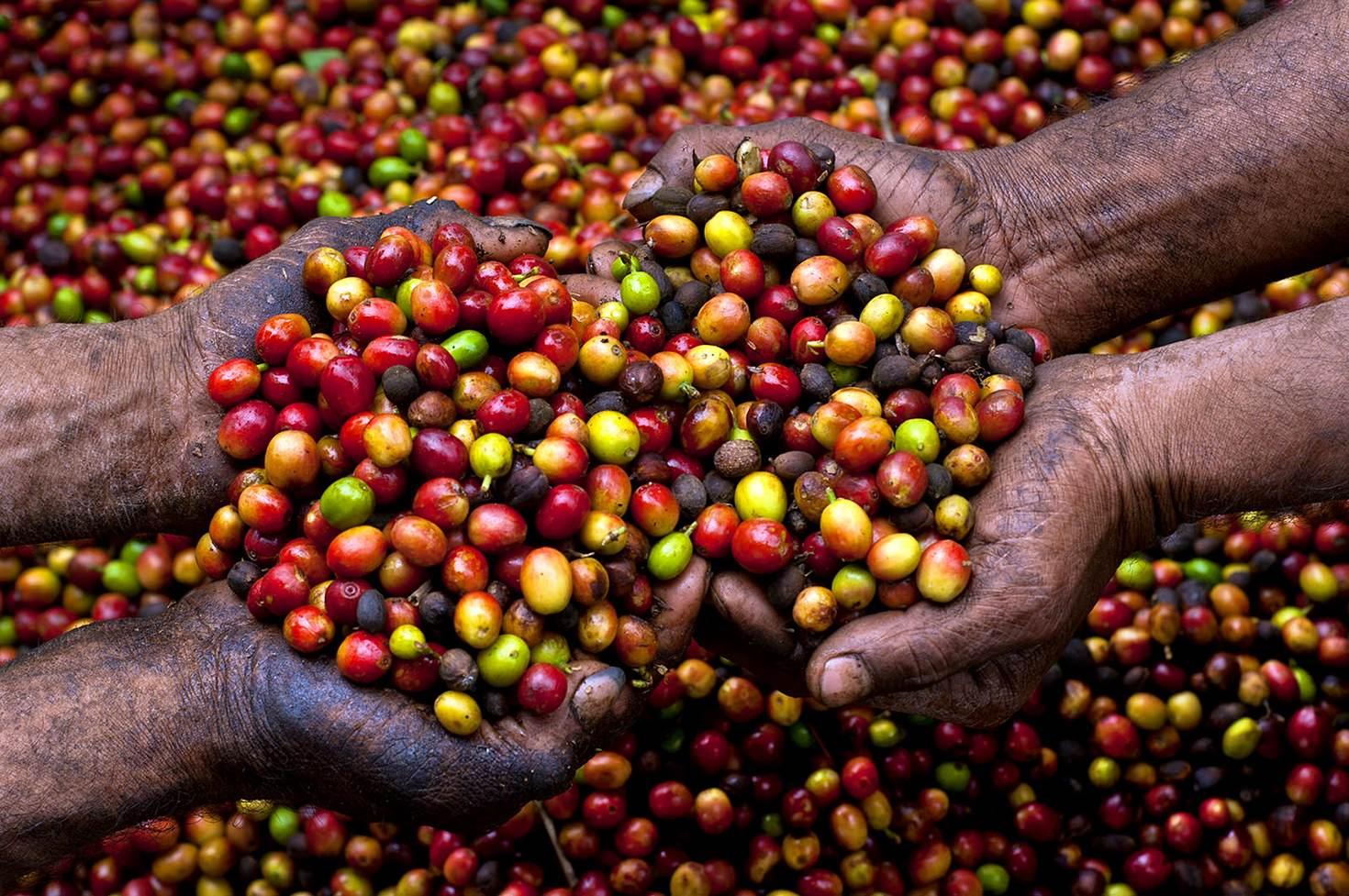 Hand-picked coffee berries from a farm in western El Salvador © John Coletti