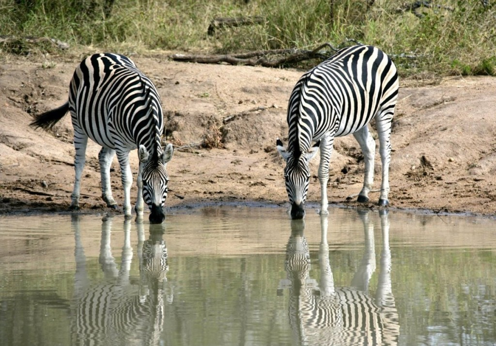 Zebras drinking water in South Africa