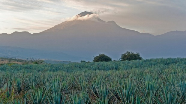 Agave field, Tequila.